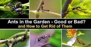 ants in the garden good or bad and