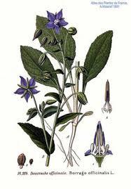 Borago officinalis Borage, Common borage,Cool-tankard, Tailwort ...