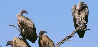 """Résultat de recherche d'images pour """"le vautours"""""""