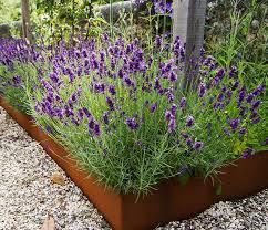 lavender corten steel raised bed