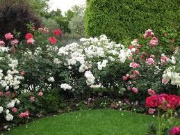 hedges rose bushes