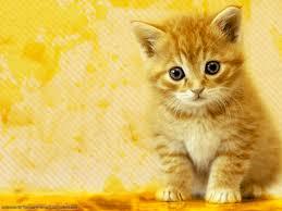 59 hd cat wallpapers cats golden cat cat