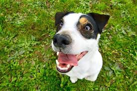 pale gums in dogs what it means when a