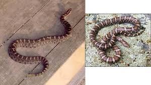 milk snake size eastern massasauga vs eastern milk snake morning walks
