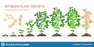 Soybean Plant Growth Stages Infographic Elements Growing