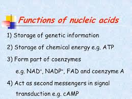 Functions Of Nucleic Acids Functions Of Nucleic Acids Magdalene Project Org