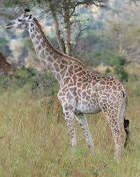 <b>Giraffe</b> - Wikipedia