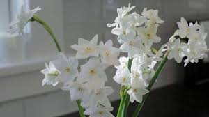 Paper White Flower Bulb Paperwhite Bulbs Chinese Sacred Lilies American Meadows