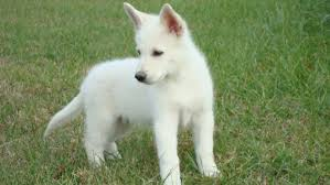 white german shepherd husky mix puppy. Beautiful Husky Pictures Of White German Shepherd Puppies With Husky Mix Puppy P