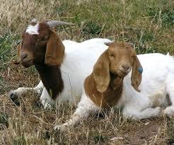 Goat Lice Lice On Goats Ardillaestudio Com