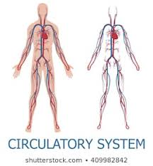 Flow Chart Of Nervous System In Human Beings Royalty Free Circulatory System Stock Images Photos
