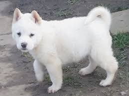 dog for anese akita puppies for keighley west yorkshire