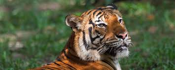 21 Surprising Tiger Facts Prove These Big Cats Are Amazing ...