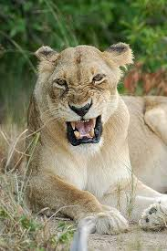 lioness roar front view. Contemporary Lioness Lioness Roaring Front View  Google Search And Lioness Roar Front View A