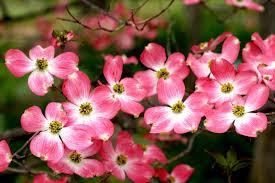 Image result for pink princess dogwood tree
