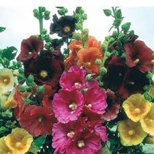 نتیجه تصویری برای گل ختمی