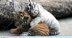 cute baby tiger. Perfect Baby Baby Big Cat Cuddles Hall Of Fame Tiger Cub Tigers  6315319552 And Cute Baby Tiger