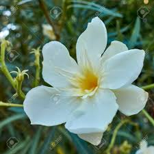 One White Oleander Flower Close-up In The Garden Stock Photo, Picture And  Royalty Free Image. Image 50832030.