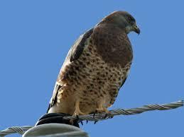 What Is A Hawk Light Swainsons Hawk Wikipedia