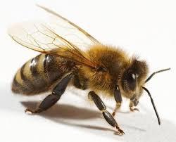Картинки по запросу пчела фото