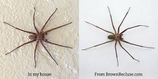 My Bf Found What Looks Like A Brown Recluse In His House In Northern