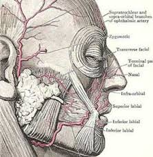 face anatomy core anatomy blood supply to the face and scalp frcem primary blog