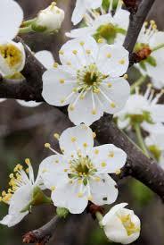 Prunus domestica - Michigan Flora