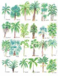 Types Of Palm Trees Palm Tree Species Comparing Leaves And