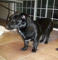 corgi lab mix puppies. Modren Corgi CORGIBLACK LAB To Corgi Lab Mix Puppies O