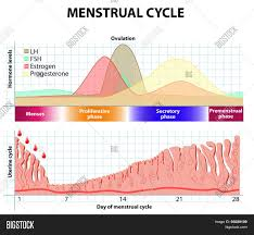 Menstrual Cycle Phases Chart Menstrual Cycle Vector Photo Free Trial Bigstock