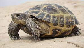 Russian Tortoise Age Size Chart Russian Tortoise Agrionemys Horsfieldii Video All Turtles
