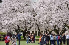 uw hfs uofwhfs twitter uw cherry blossoms