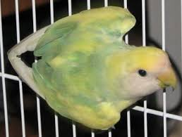 Lovebird Color Mutations Chart Peach Face Lovebird Mutations Genetics General Info