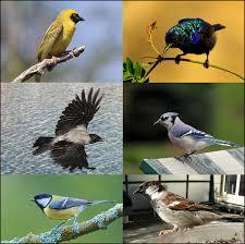 Blue Jay Robin Cardinal Finch And Pelican Taxonomy Chart Passerine Wikipedia