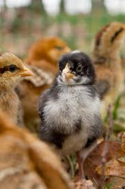Everything You Need To Know About Raising Backyard Chickens How To Keep Backyard Chickens