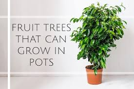 fruit trees that you can grow in pots