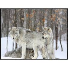 grey wolf size global gallery grey wolves huddle together during a snowstorm