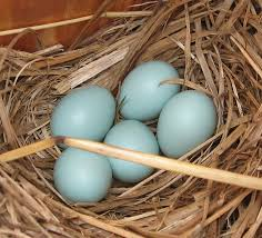 the backyard naturalist s faqs eastern bluebirds