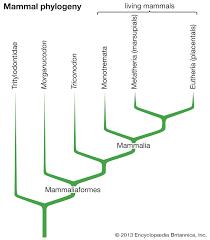 Mammal Evolution And Classification Britannica