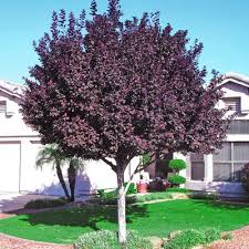 Purple Leaf Plum Deciduous But Also Plum Tree Not Producing Fruit