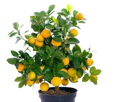 Flying Dragon Trifoliate Orange  Edible LandscapingSmall Orange Fruit On Tree