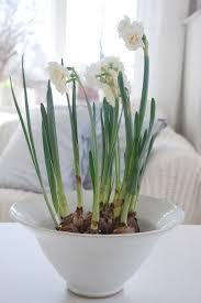 White Paper Flower Bulbs Paper Whites In Spring Easter Christmas Flowers Bulb