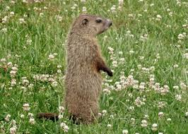getting rid of groundhogs mothballs. Simple Groundhogs Groundhogs Are Cute Until They Clean Out Your Veggie Patch Throughout Getting Rid Of Mothballs I