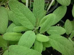 Resultado de imagen para sage herbs