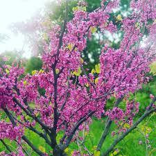 Çocuk Alerjisi- Doç. Dr. Mahmut Doğru - İstanbul'un rengi; Erguvan...  Baharla birlikte erguvan çiçekleri açtı. Özellikle boğaz sırtlarında olan  bu ağaçtan Validebağ korusunda da bulunuyor. Oradan bir resim 😊  #validebağkorusu #erguvan #erguvanağacı #