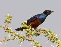 Shelley's starling - Wikipedia