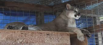 cougar essay rachel scott essay