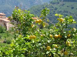 lemon tree x: lemon tree surgery lemon tree surgery lemon tree surgery