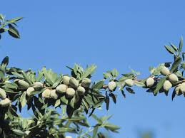 Buy Fruit U0026 Nut Trees Online  Garden Goods DirectFruit And Nut Trees
