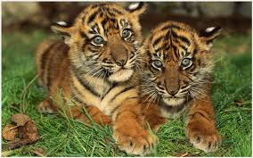 cute baby tigers wallpapers. Contemporary Wallpapers Baby Tigers Wallpaper  Baby Tiger Cubs Wallpaper Iphone  Wallpaper 3d Desktop  For Cute Wallpapers L